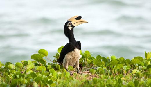 マレーシアの国鳥「ホーンビル」ってどんな鳥?