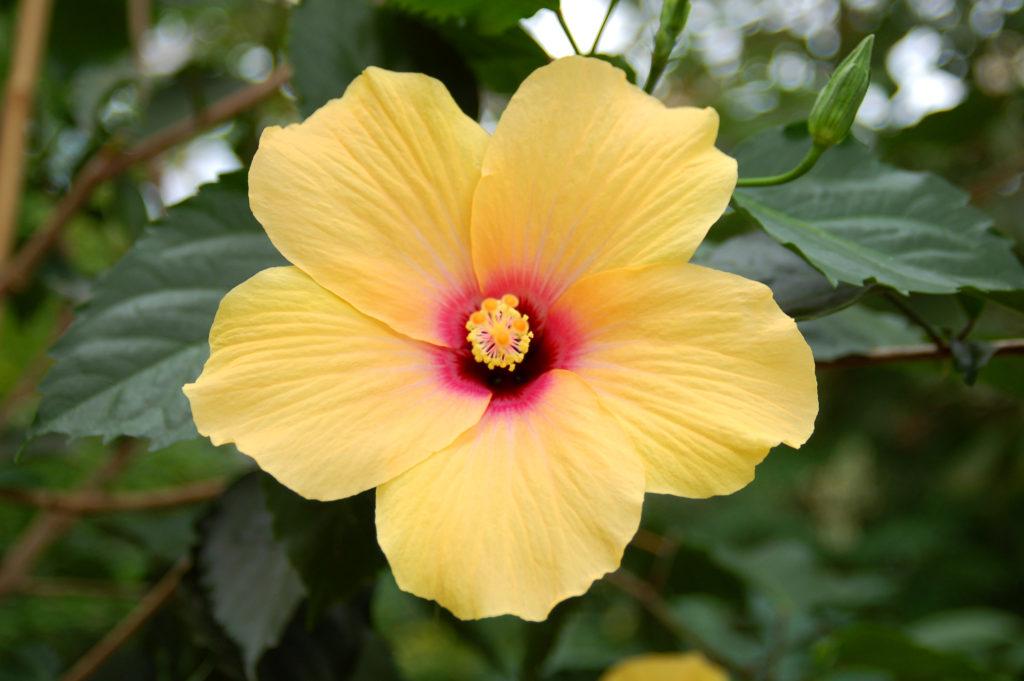 マレーシアの国花ハイビスカス