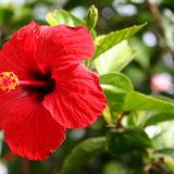 マレーシアの国花