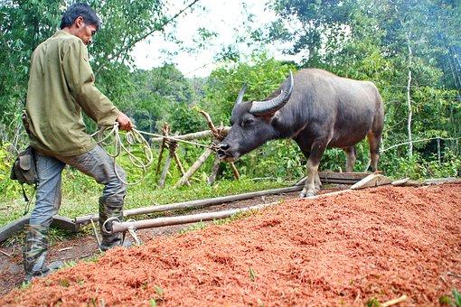 バリオで水牛を使って農作業する人