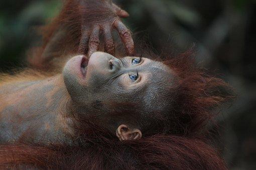 マレーシアのオランウータン