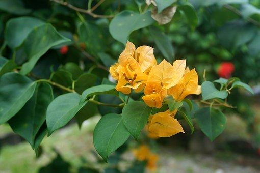 黄色のブーゲンビリア