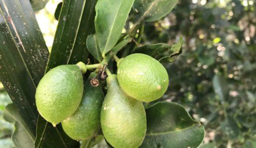 ボルネオ島で出会った「サラワクレモン」が超美味しかった件